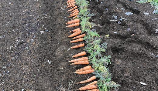 手掘りで人参収穫します!