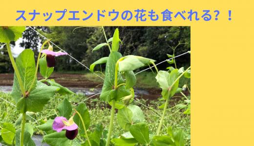 【収穫後料理】スナップエンドウの花も食べれる?!