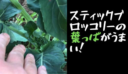 【収穫後料理】スティックブロッコリーの葉っぱがうまい!【スーパーでは買えない】